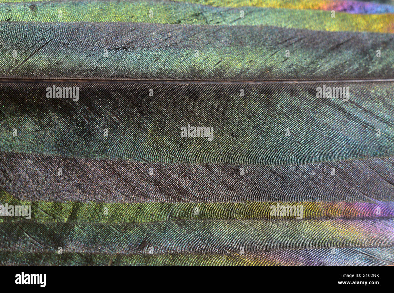 Close up of iridescence on magpie feathers - Stock Image