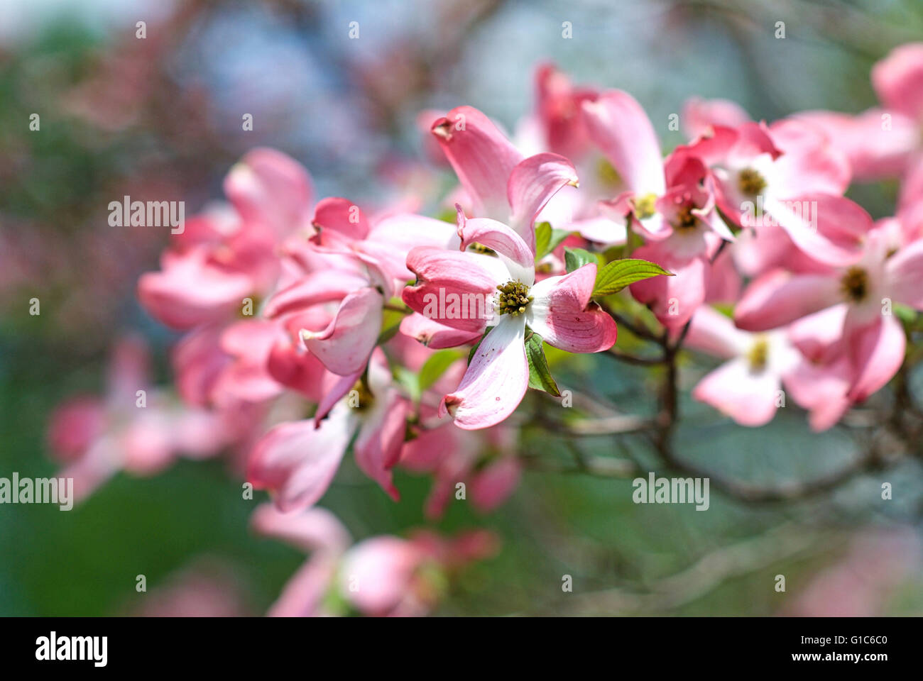 Close-up image of pink blossoms on an American Dogwood tree in Spring in Virginia, USA. Stock Photo