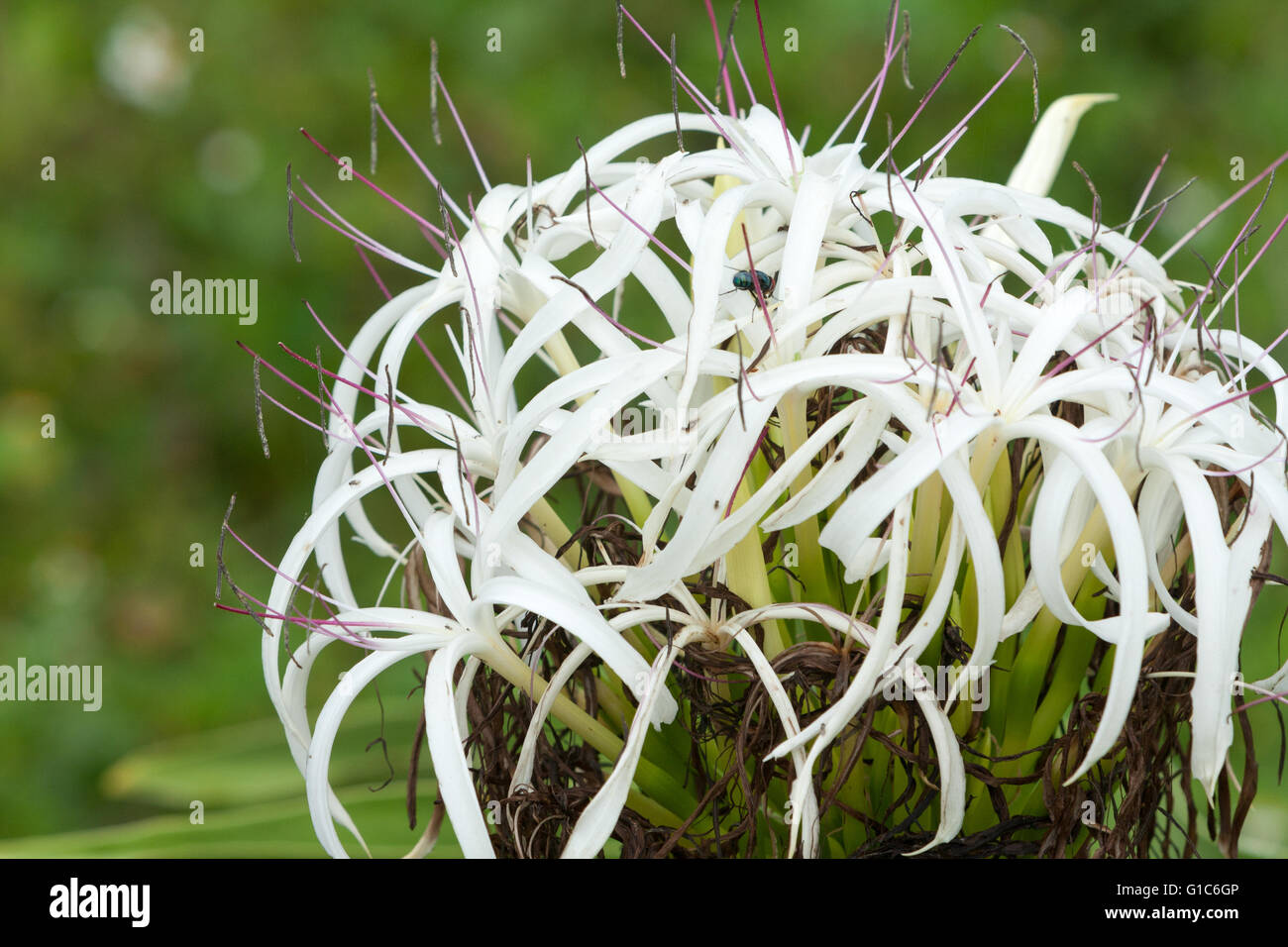 Poison Bulb Spider Lily Giant Crinum Lily Grand Crinum