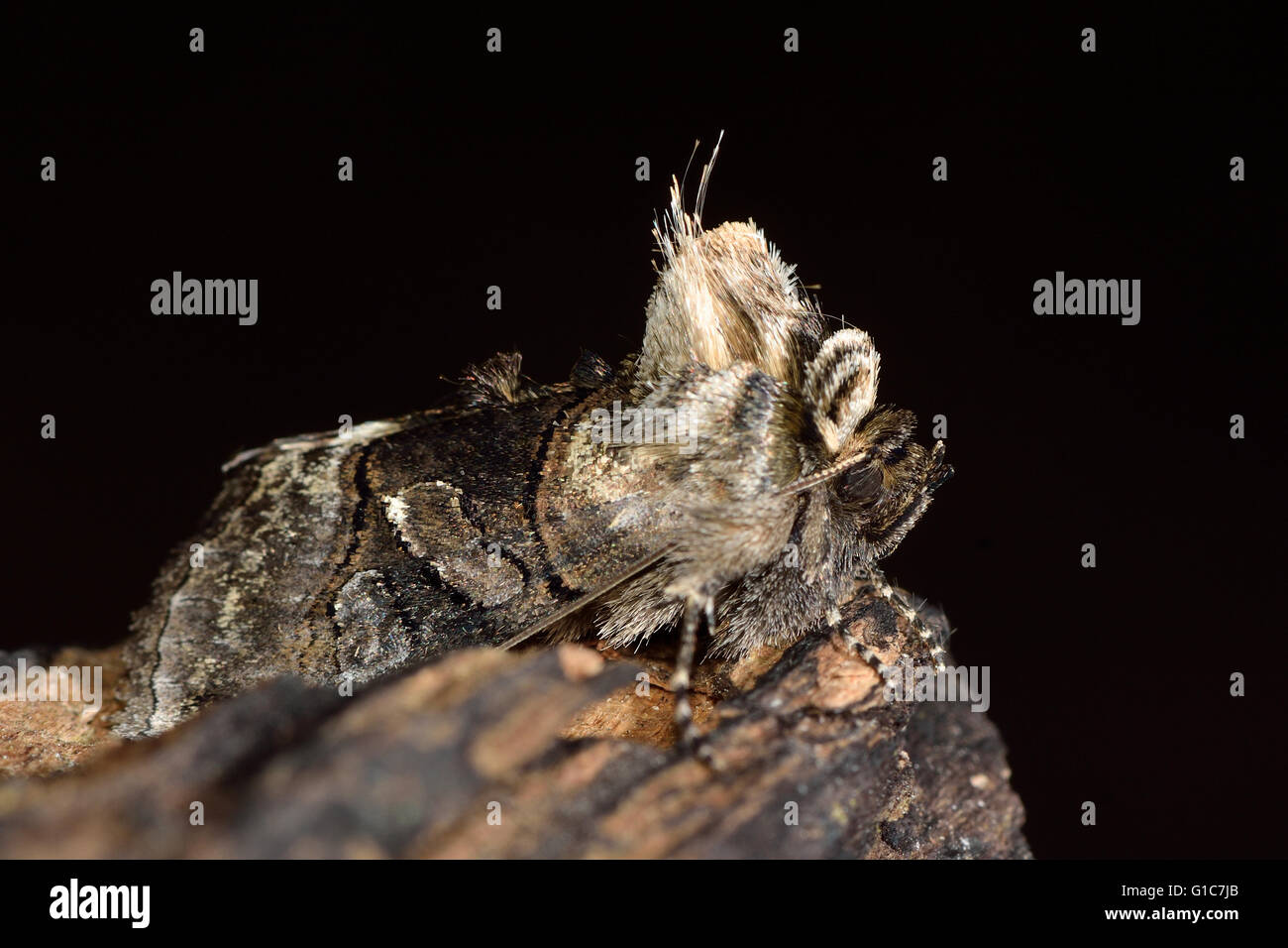 British insect in the family Noctuidae, the largest British family of moths - Stock Image