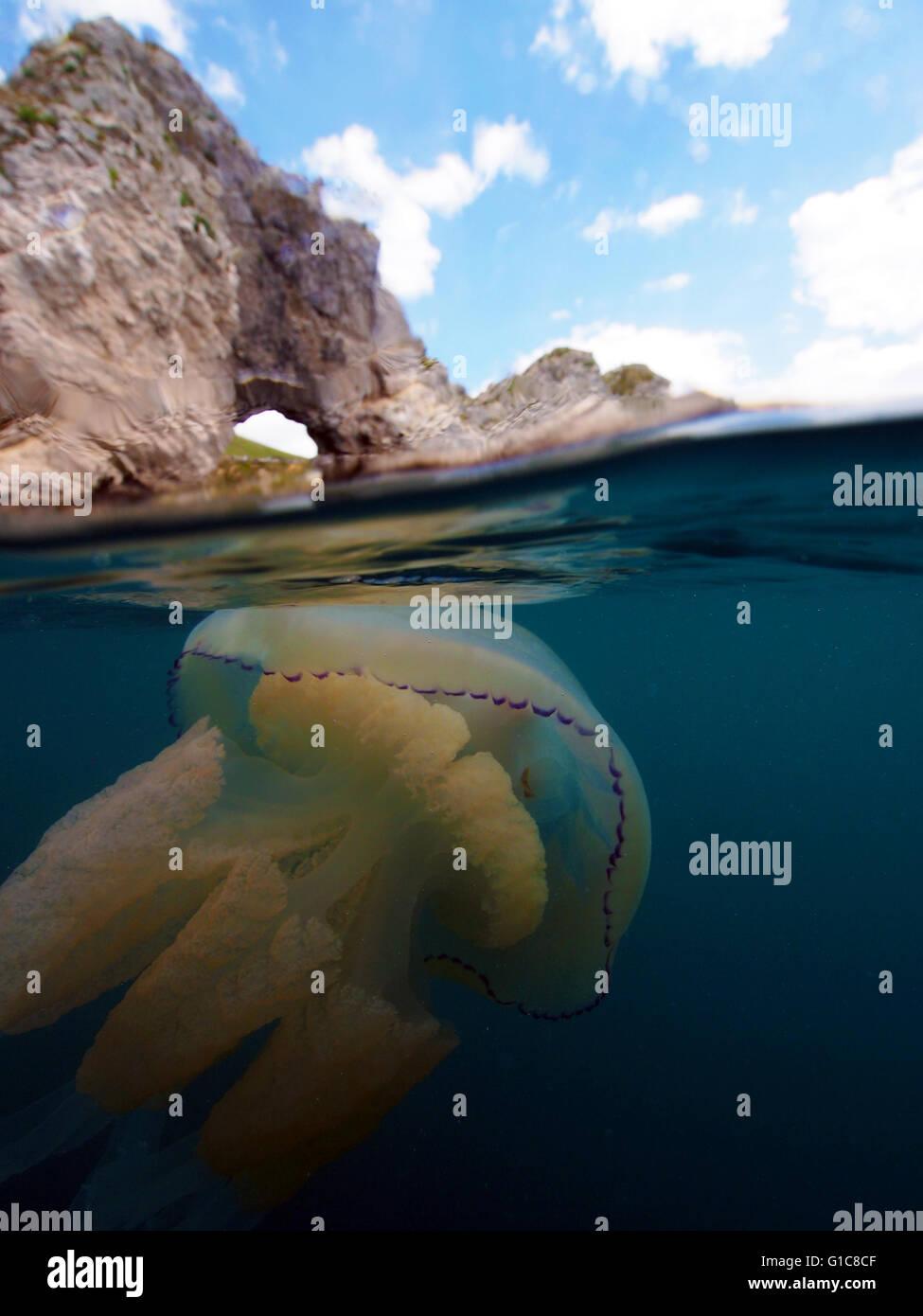 Barrel jellyfish off Durdle Door, Dorset - Stock Image