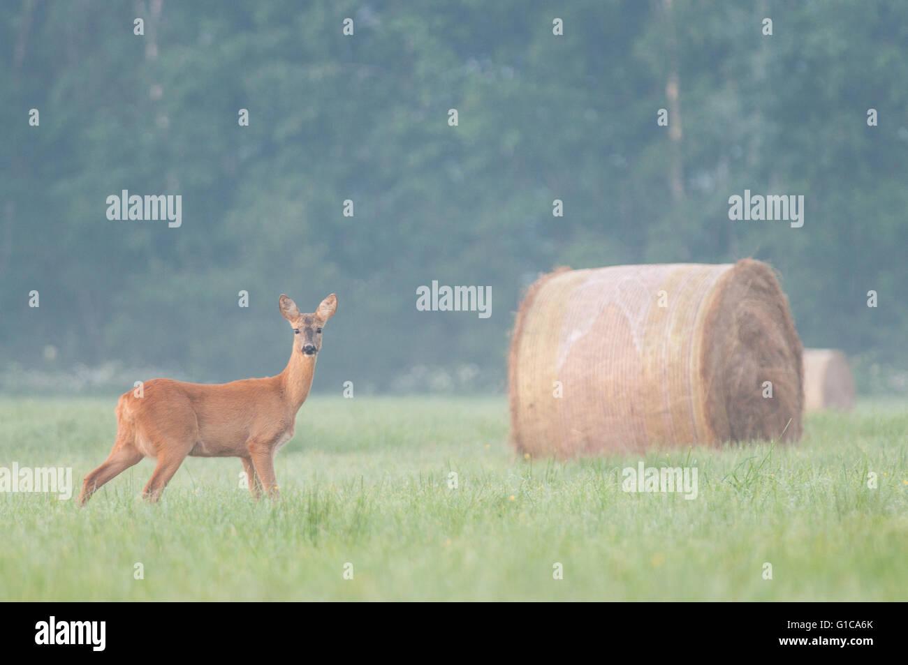Roe deer on the meadow - Stock Image