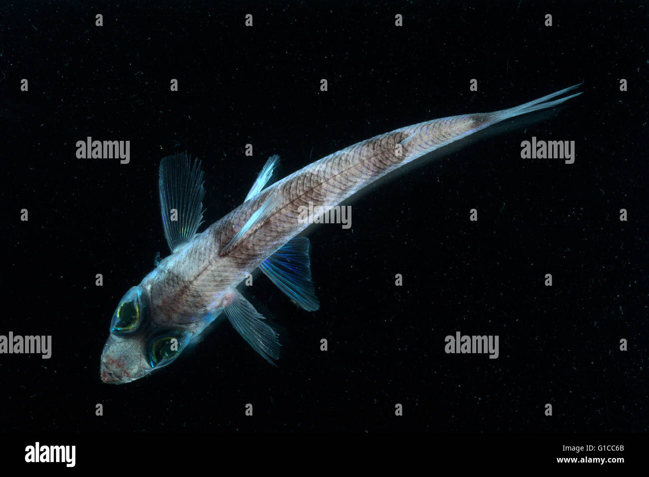 Operation Deep Scope Expedition 2004. Under white light, the green lenses of this six-inch greeneye fish are still - Stock Image