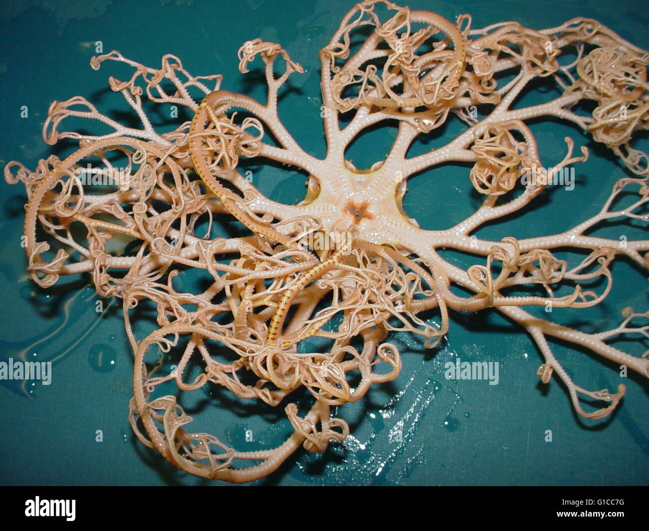 Basket Star from the Charleston Bump Expedition 2003. - Stock Image