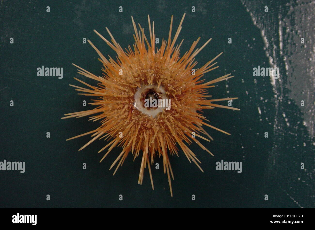 Sea Urchin from the Charleston Bump Expedition 2003 - Stock Image