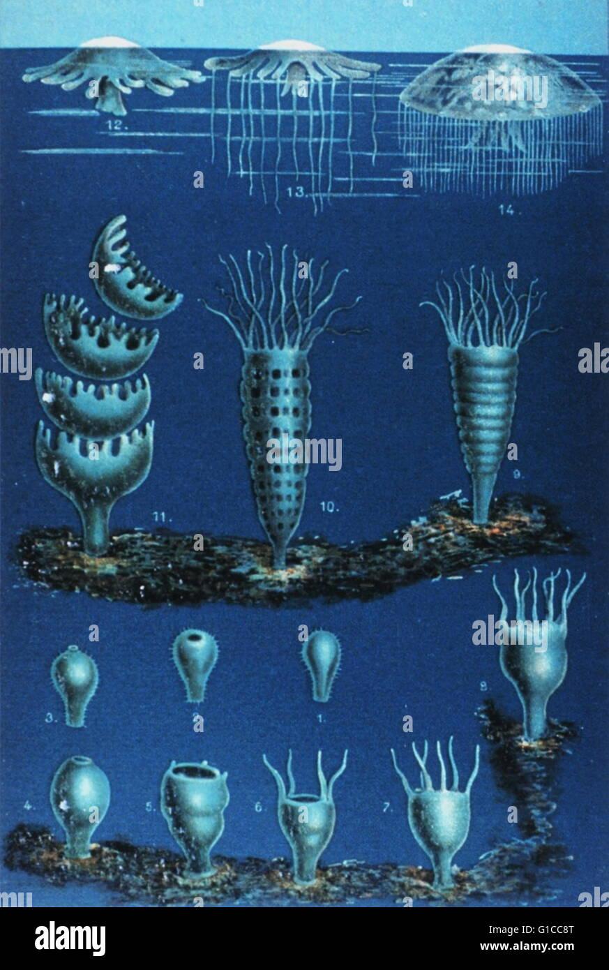 Die Entwickelung der Meduse 1888 in Das Meer by M. J. Schleiden, 1804-1881 - Stock Image