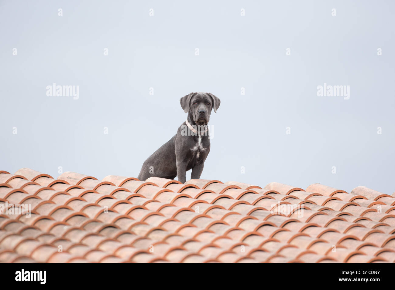 Dog on a roof - Stock Image