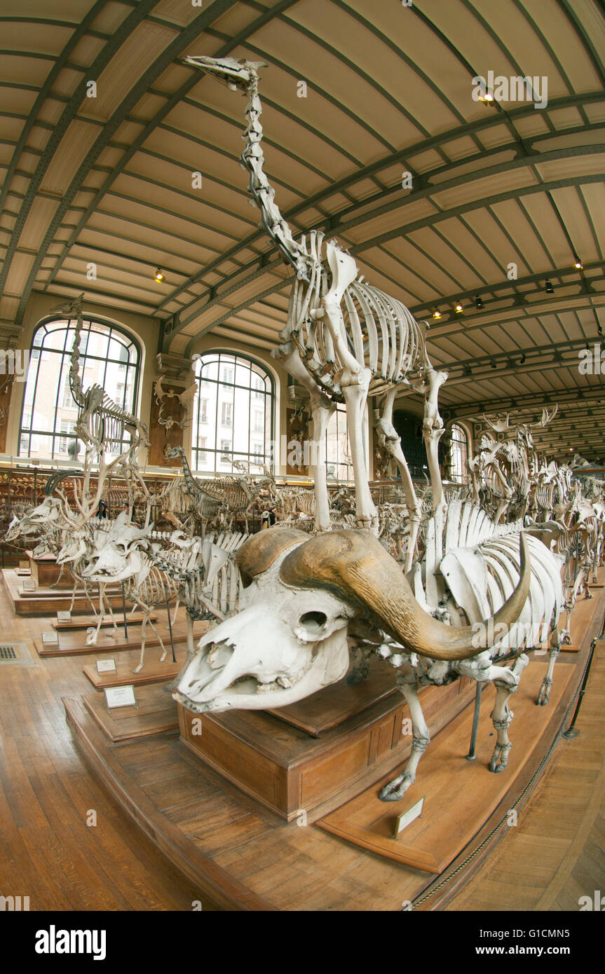 Skeletons of Buffalo, Giraffe and African mammals, French National Museum of Natural History, Jardin des Plantes, - Stock Image