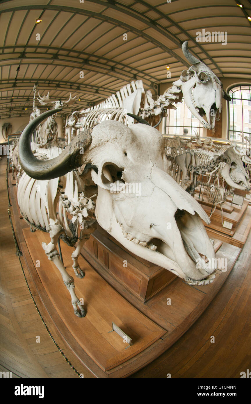 Skeletons of world animals, French National Museum of Natural History, Jardin des Plantes, Paris, France - Stock Image