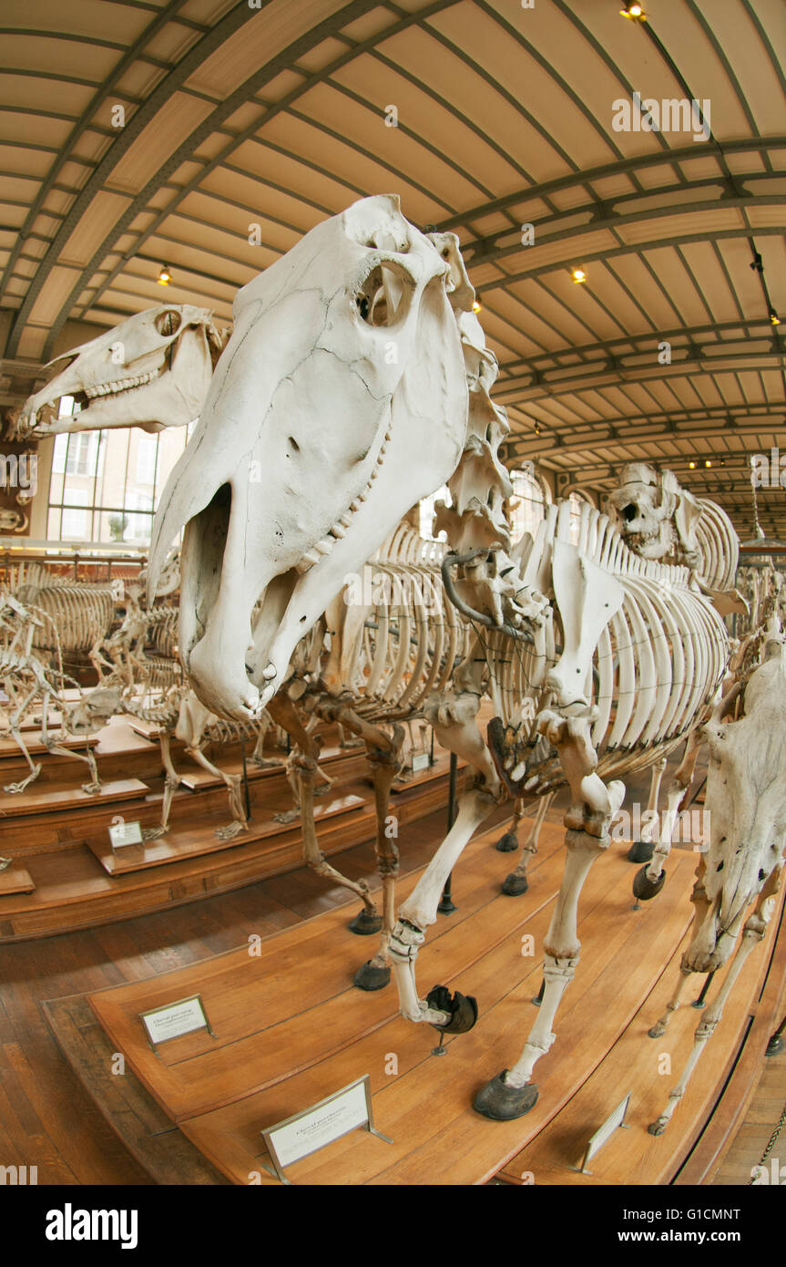 Skeletons of Percheron and other horses, French National Museum of Natural History, Jardin des Plantes, Paris, France - Stock Image