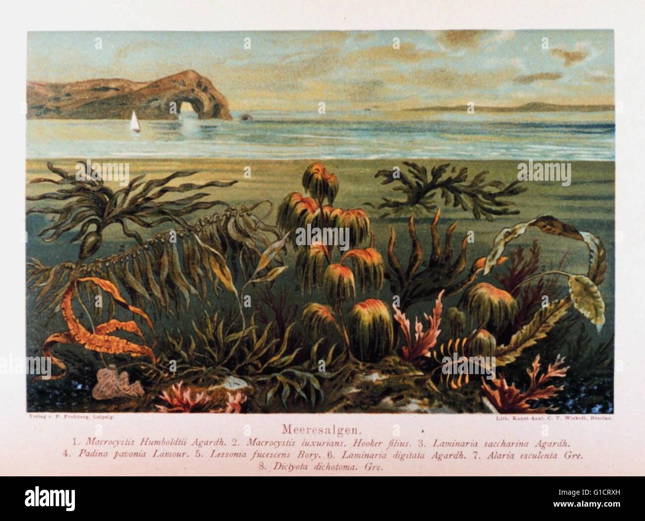 kelp (Meeresalgen) in: 'Das Meer' by M. J. Schleiden, 1804-1881 - Stock Image