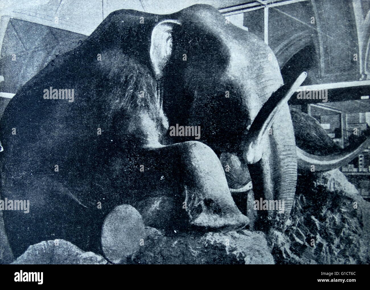 Photograph of the prehistoric Mammoth. Dated 1890 - Stock Image
