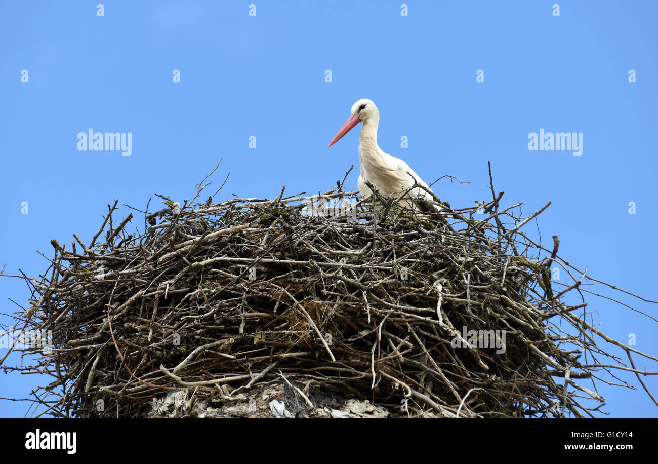 White Stork on nest in Spain Ciconia ciconia Stock Photo