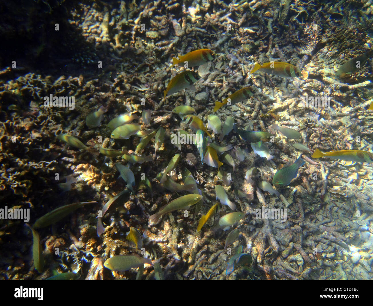 colorful coral reef with shoal of fishes scalefin anthias in tropical sea - Stock Image