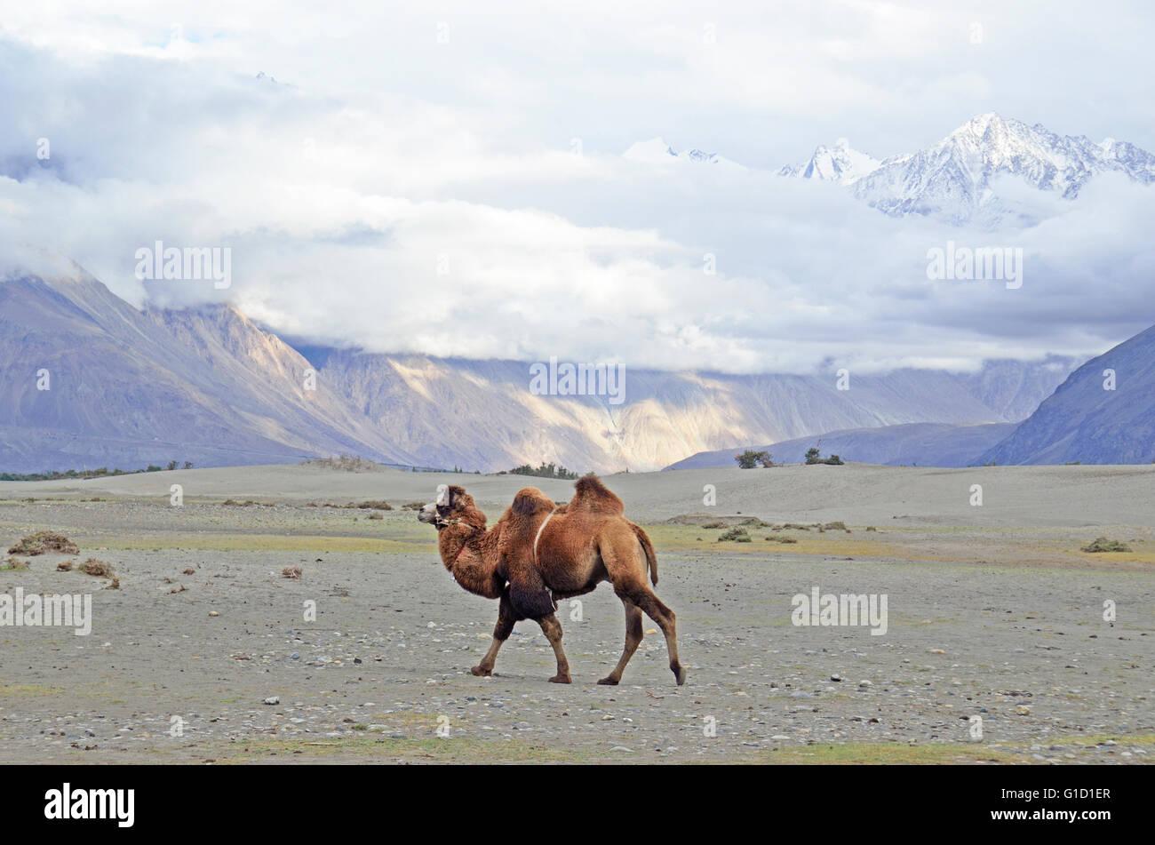 Bactrian Camel In The Cold Desert Of Hundar Nubra Valley Ladakh