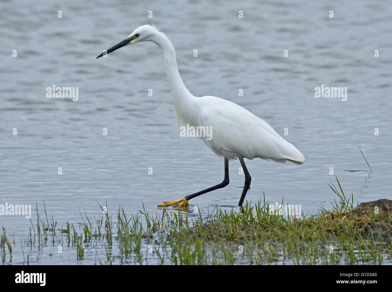 Little Egret bird wading water wildlife nature lake RSPB Frampton Marsh feathers beauty beautiful Stock Photo
