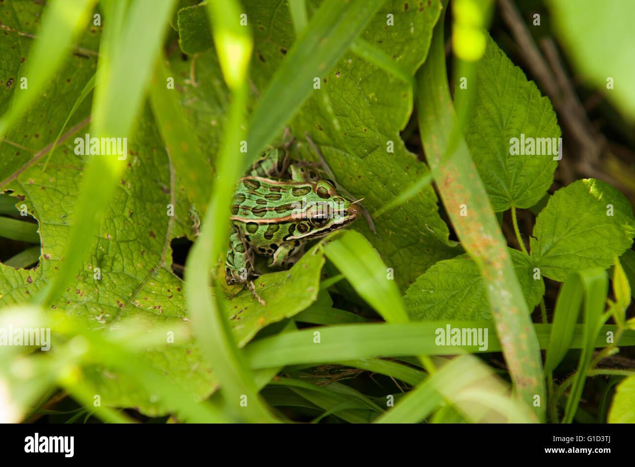 Leopard frog in vegetation. - Stock Image
