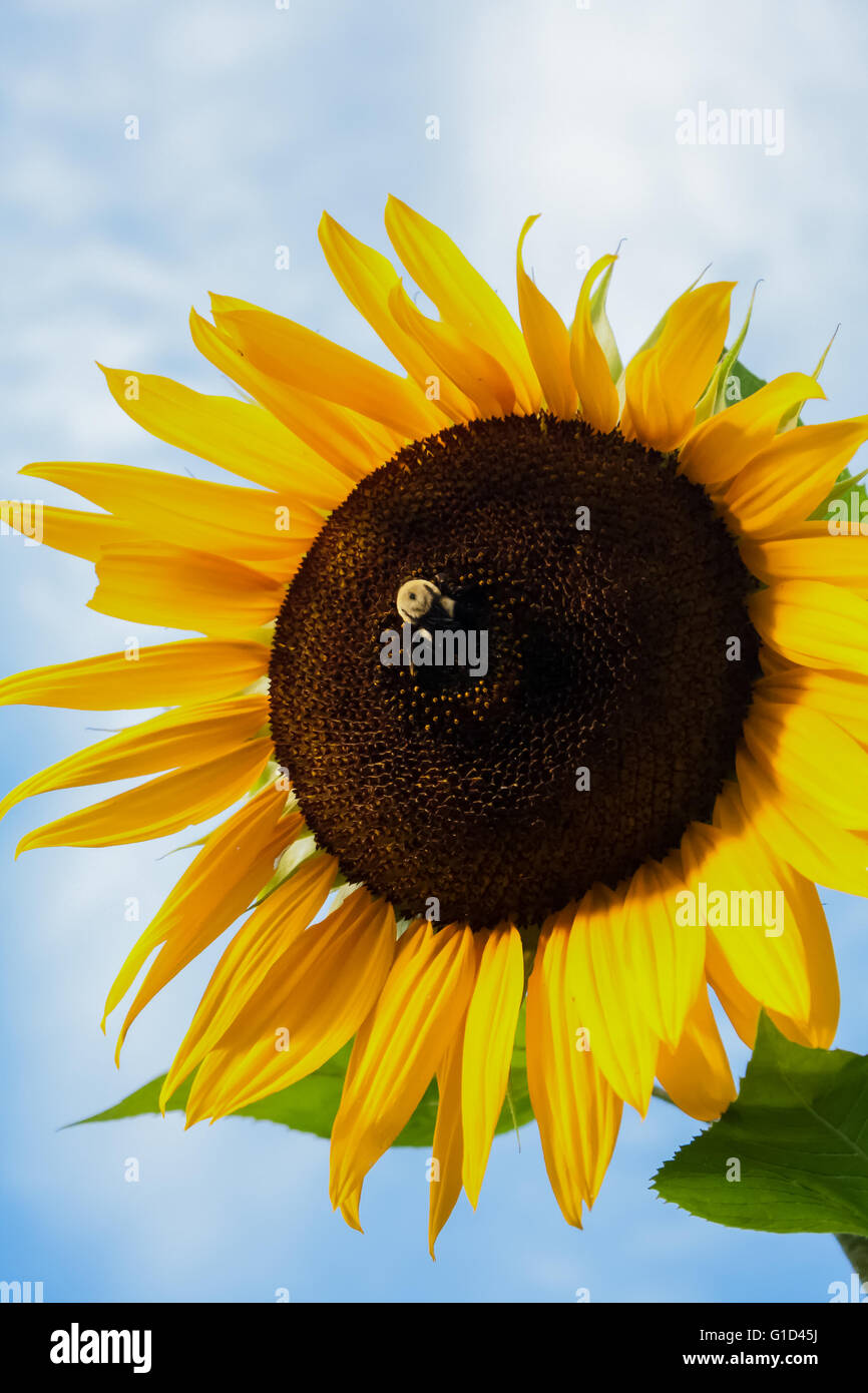 Bumblebee collecting pollen/nectar from a vibrant sunflower. Stock Photo
