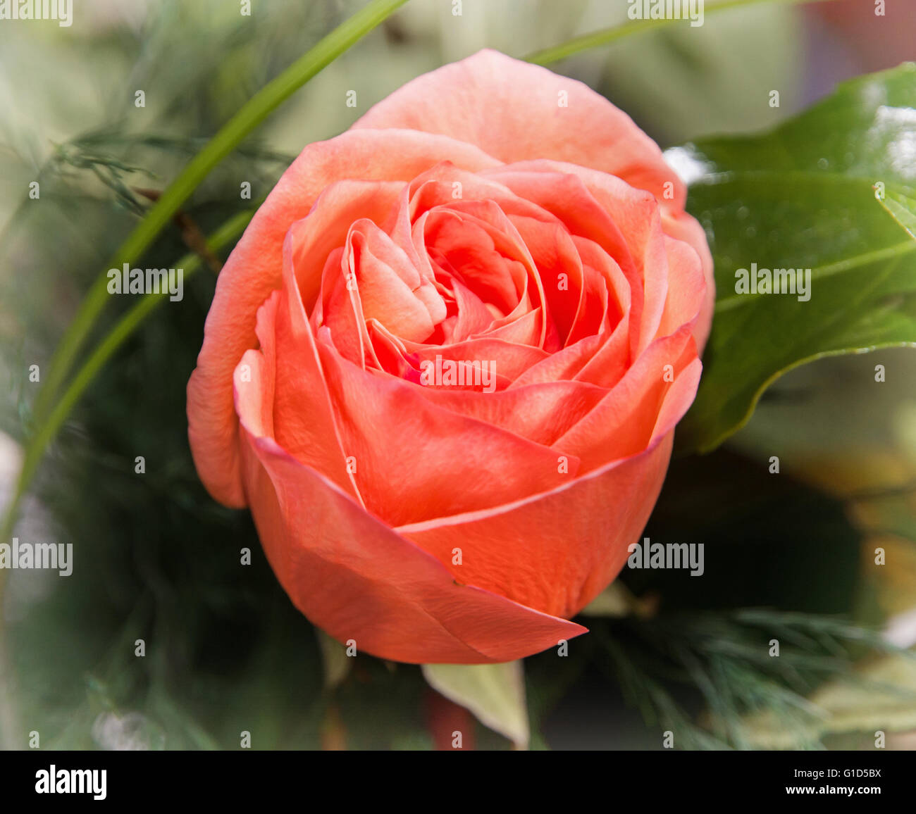 Close up photo of the red rose flower. Symbol of love. Vibrant Stock ...