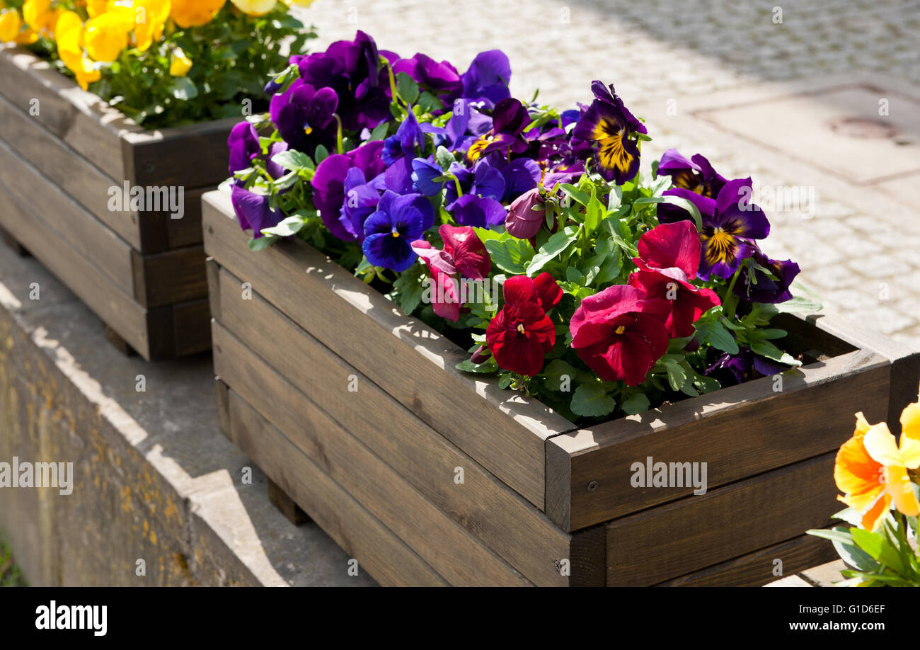Abloom varied pansies decoration outside of the restaurant, flowering purple, red and yellow plants growing in wooden - Stock Image