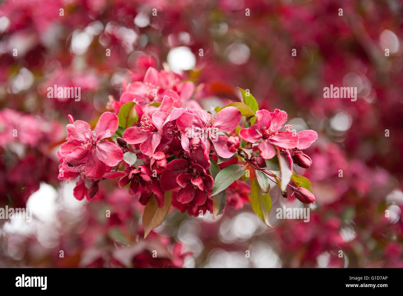 Malus Royalty Crab Apple Tree Red Flowering In Spring Season In
