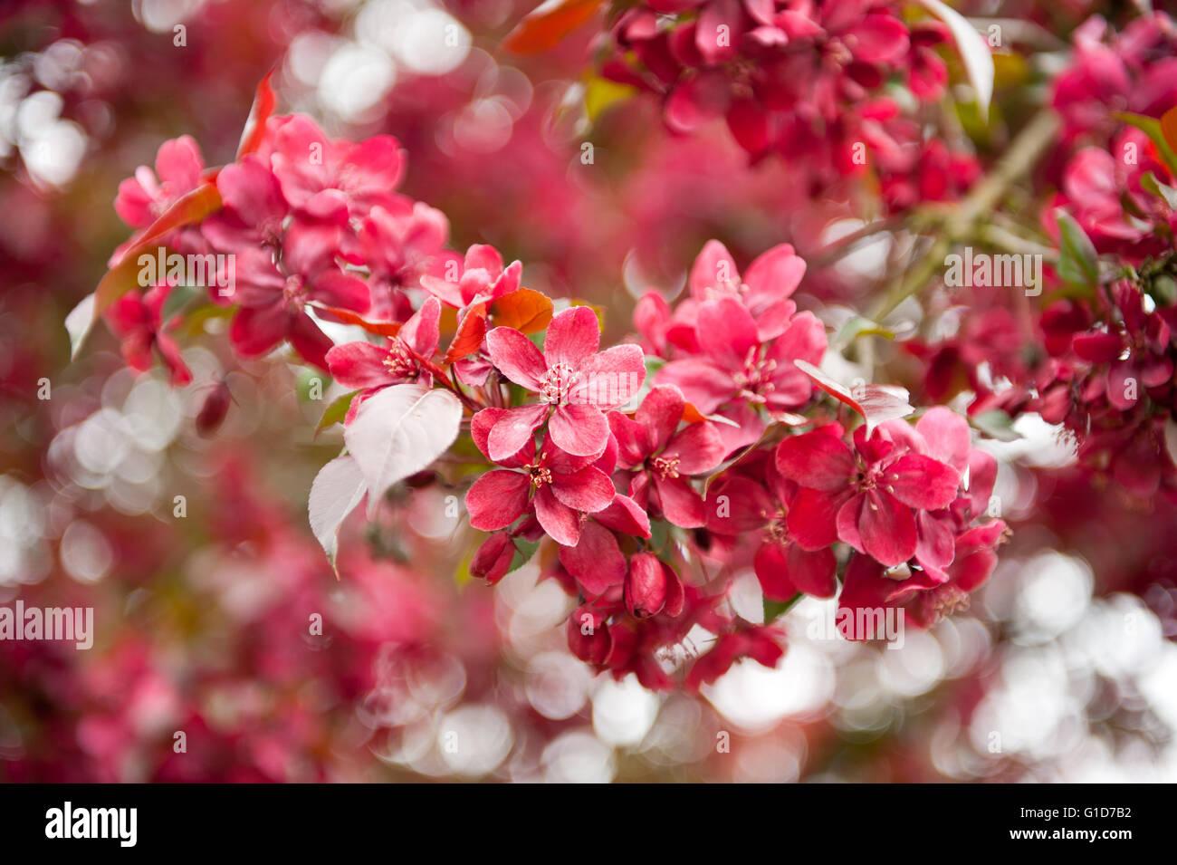 Red Crab Apple Tree Macro Malus Royalty Flowering In Spring Season