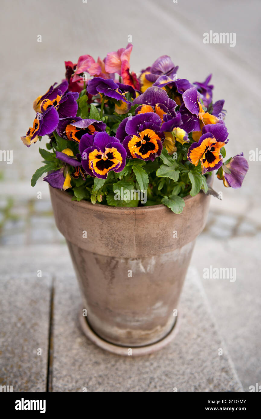 Yellow purple varied pansies flowering bunch in earthen clay flowerpot, variegated Viola blooming plants grow in Stock Photo