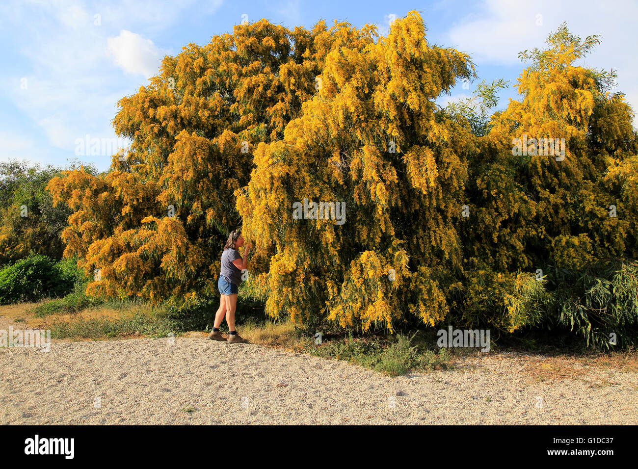 Mimosa Tree Spain Stock Photos Mimosa Tree Spain Stock Images Alamy
