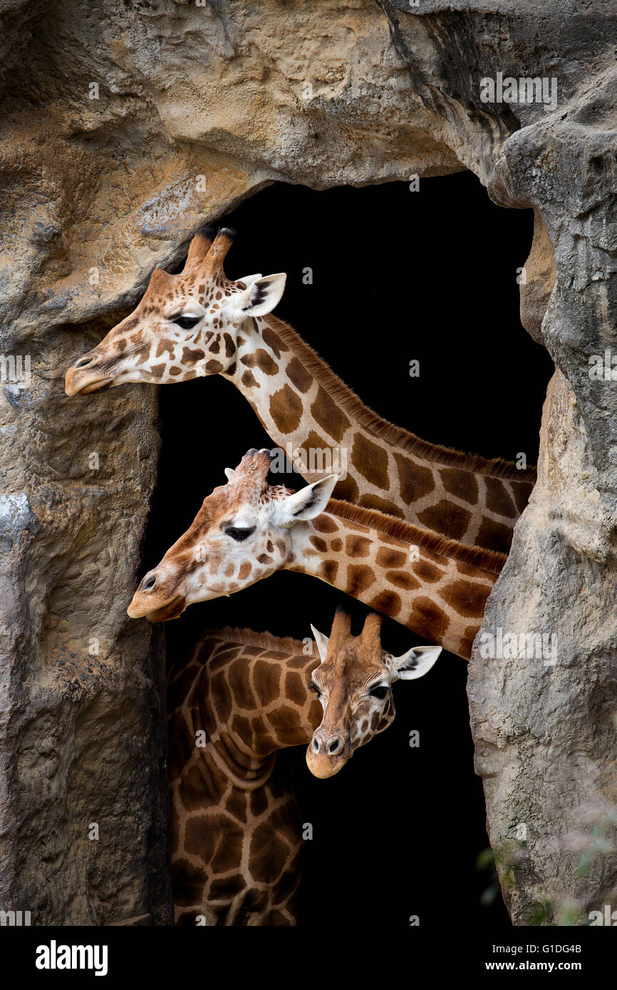 Three giraffes looking out of a cave - Stock Image