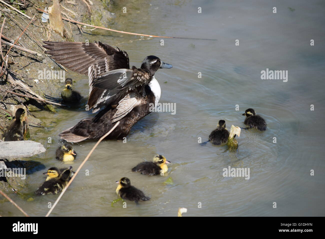 Mother duck protecting her chicks - Stock Image