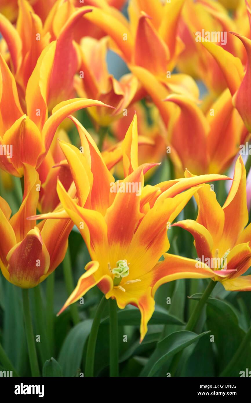 Tulips 'Fly Away' - Stock Image
