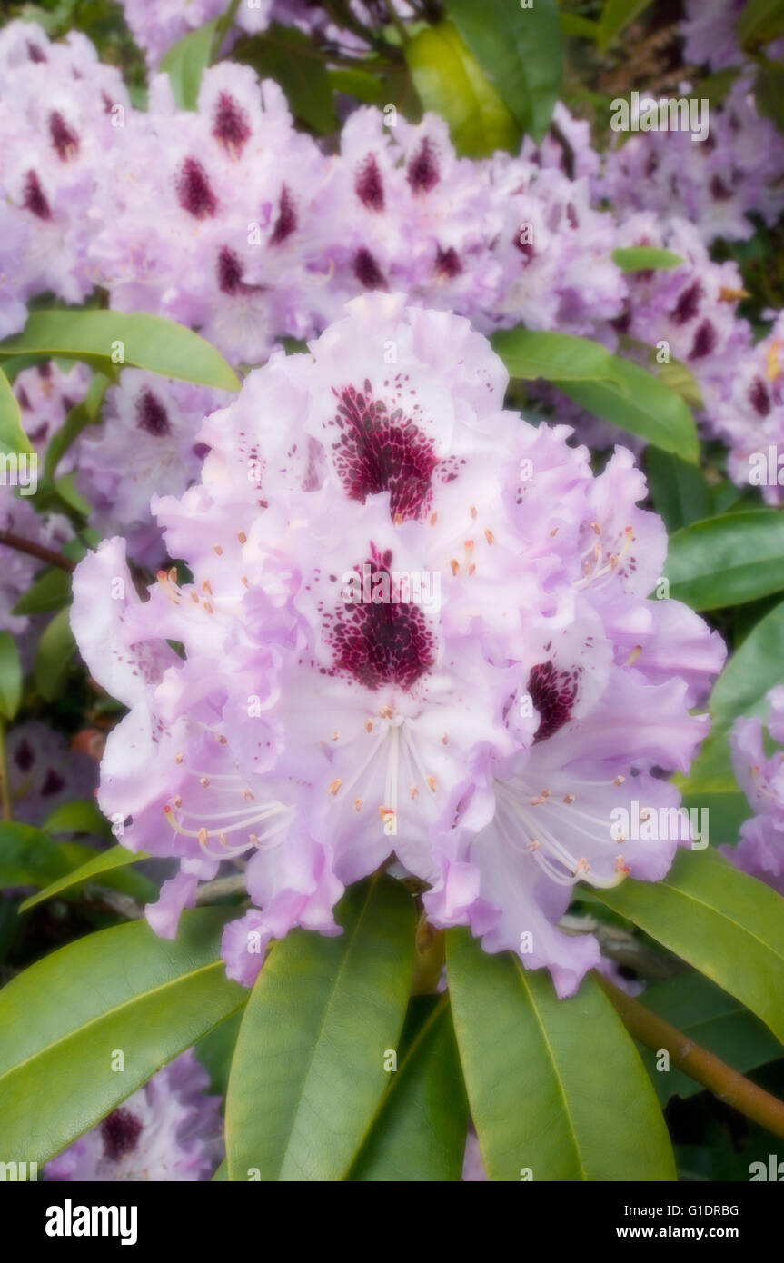 Rhododendron Flowers, MAY, Soft-focus - Stock Image