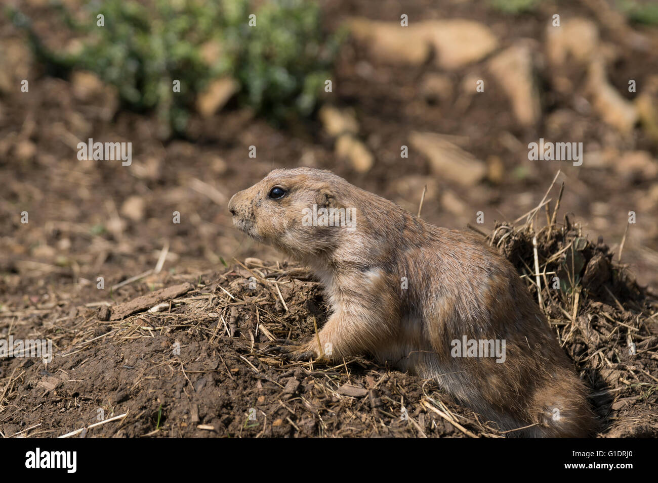 Prairie dogs are herbivorous burrowing rodents native to the grasslands of North America - Stock Image