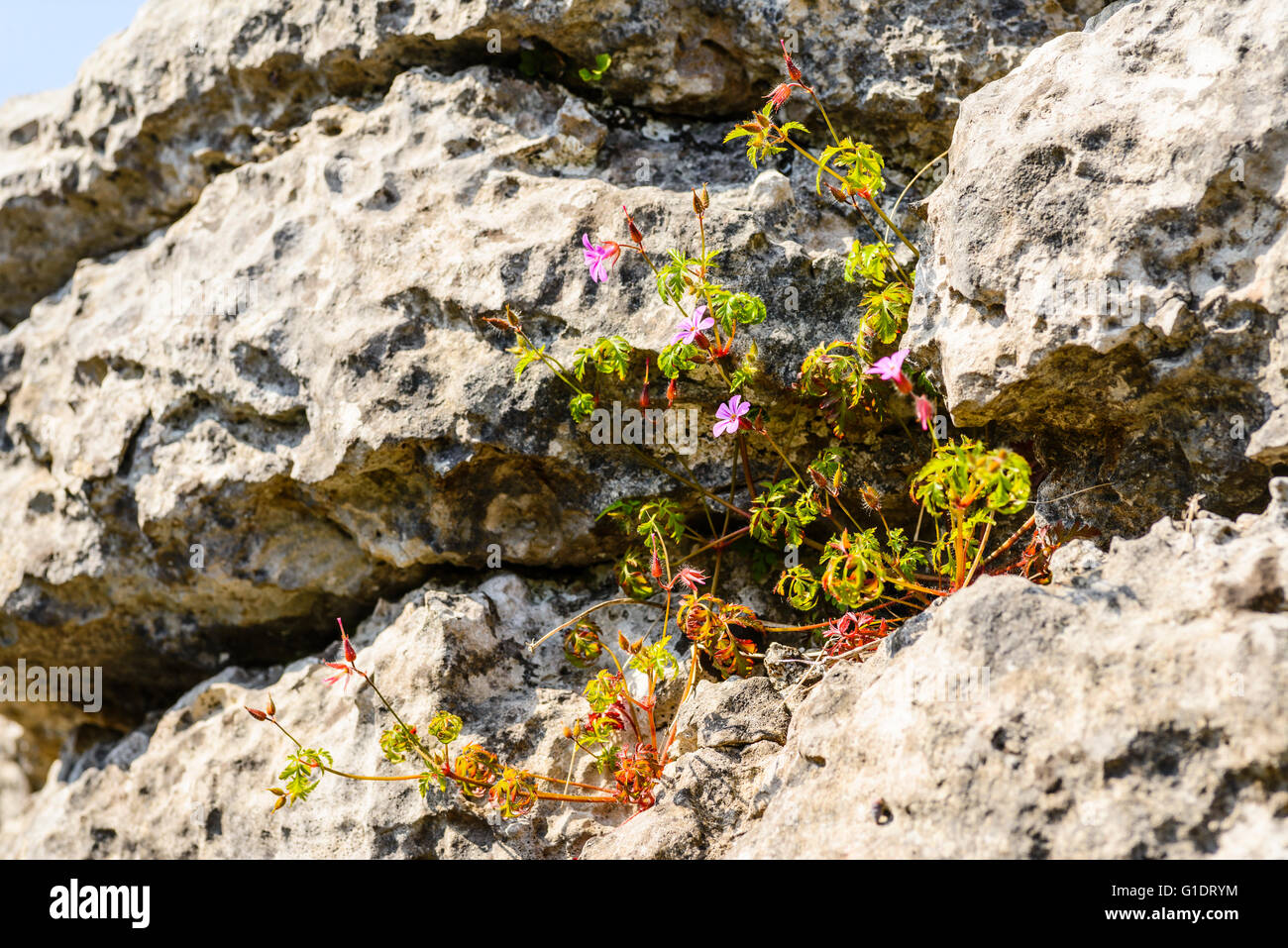 Herb-Robert limestone grike Hutton Roof Crags Cumbria - Stock Image
