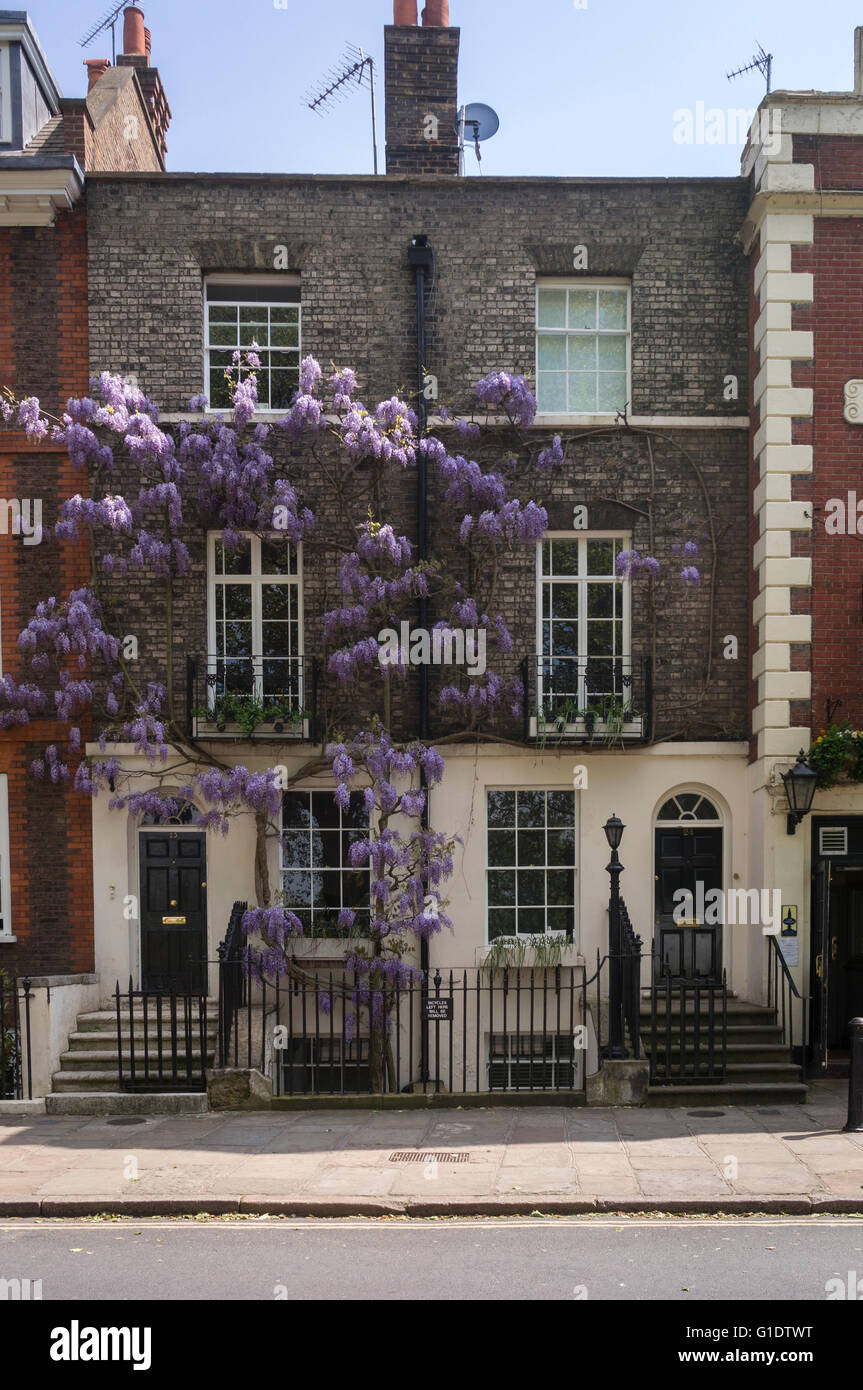 Richmond Green Wisteria growing on building - Stock Image