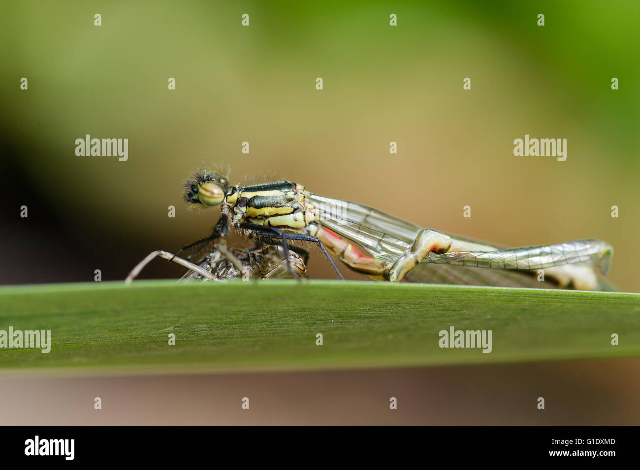 Deformed large red damselfly (Pyrrhosoma nymphula) with exuvium, in family Coenagrionidae, on larval case with malformed - Stock Image
