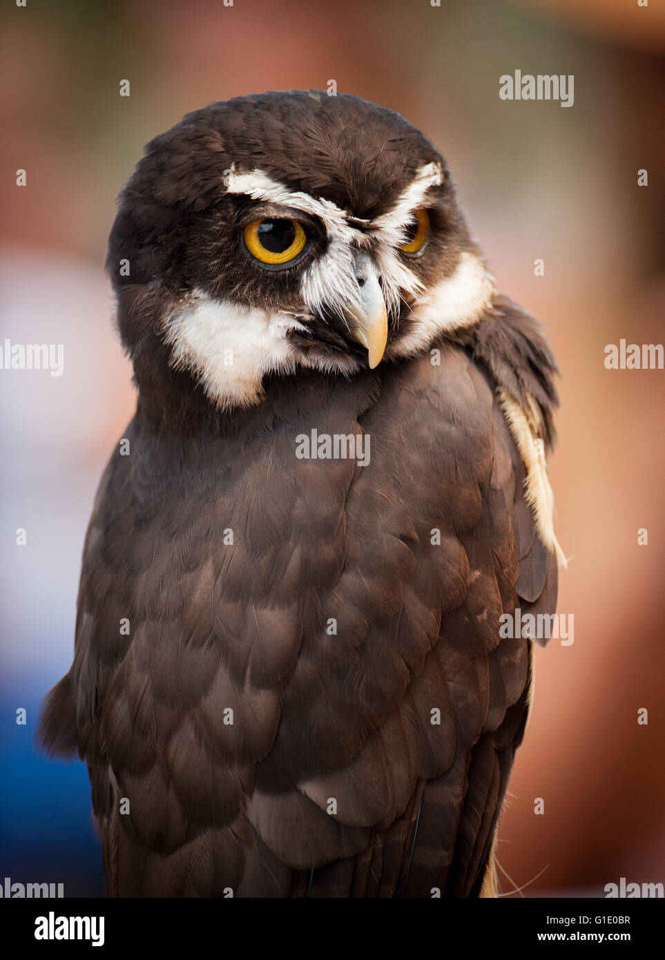 Beautiful Spectacle owl - Stock Image