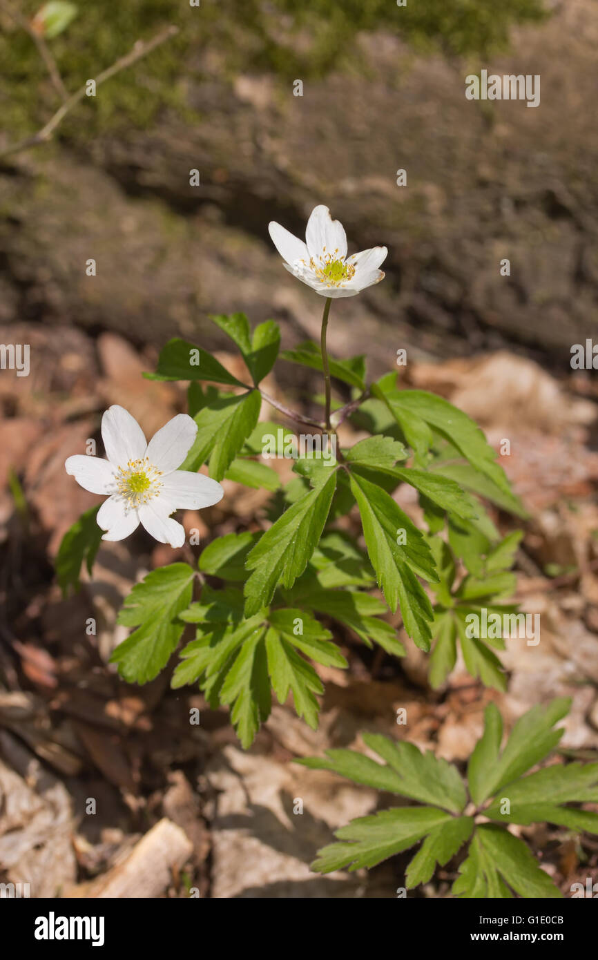Anemone Nemorosa Is An Early Spring Flowering Plant Stock Photo