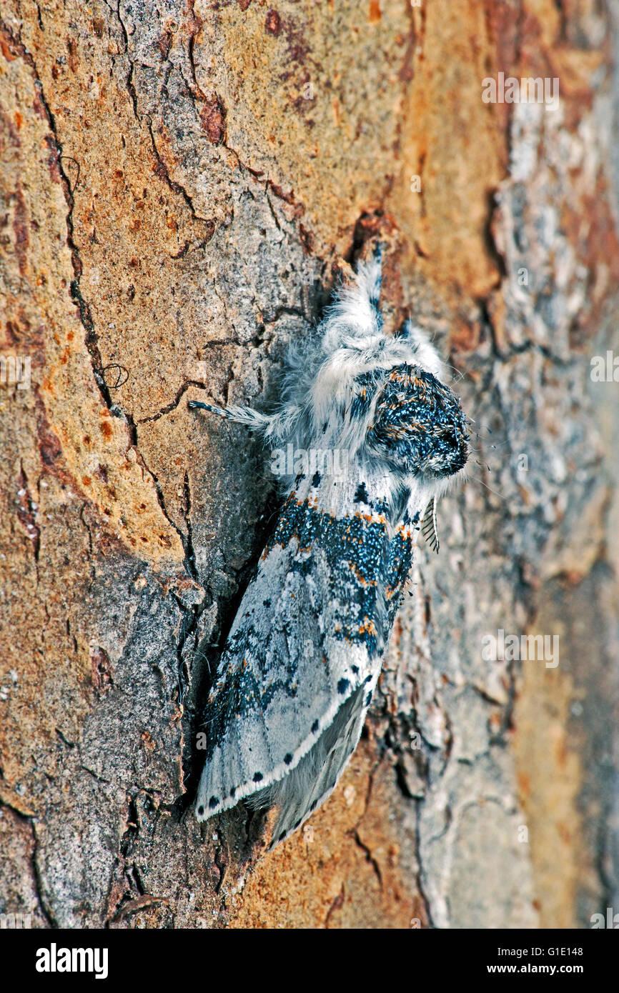 Carpenter-worm Moth hanging on bark, closeup - Stock Image