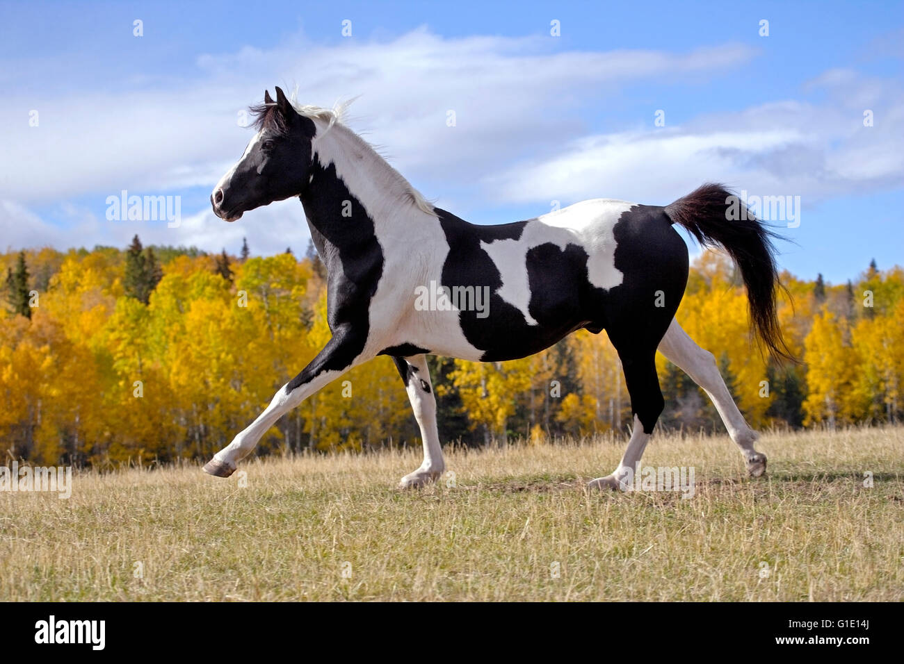 Black and White Tobiano Pinto Stallion running on meadow with trees in autumn colors - Stock Image