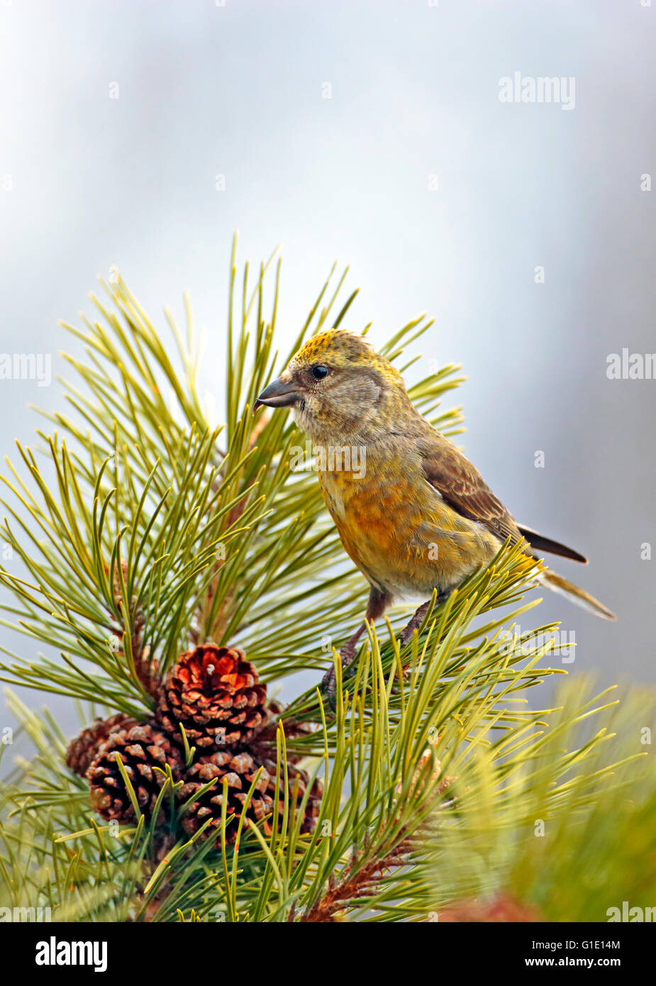 Female Cross-bill perched in pine tree looking to collect seeds from the pine cones. - Stock Image