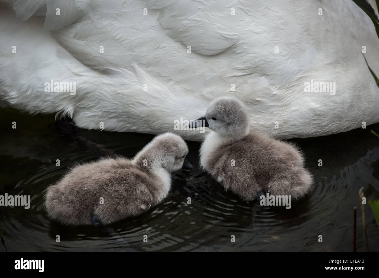 London, UK. 14th May, 2016. One day old mute swan cygnet hatchlings on Canada Water pond Credit:  Guy Corbishley/Alamy Stock Photo