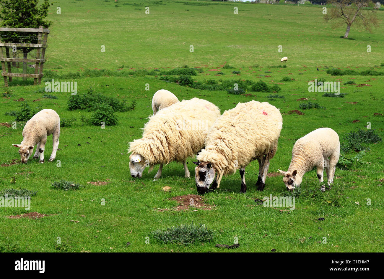 Badger faced Ewes and lambs grazing on open pasture - Stock Image