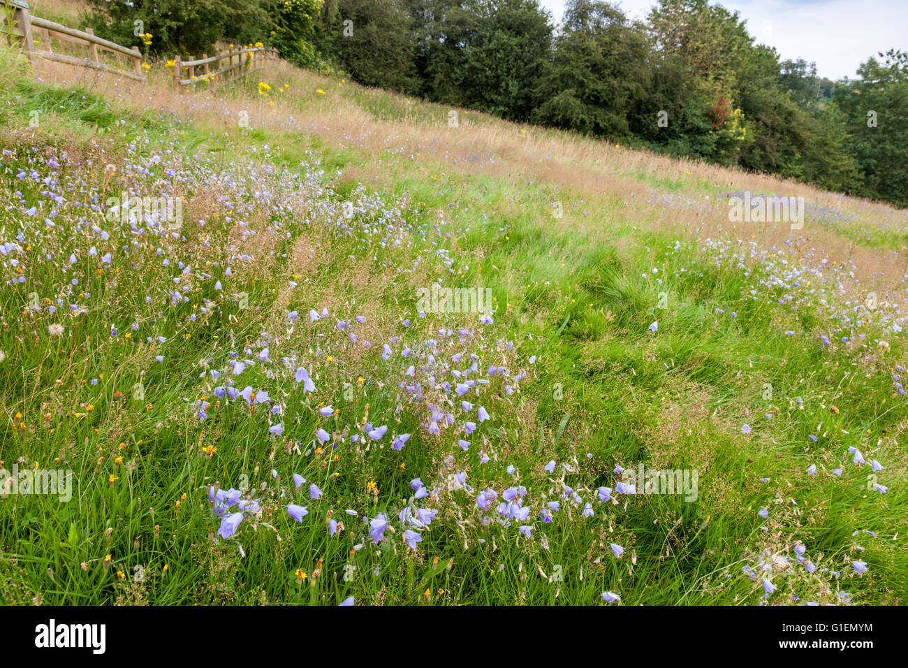 Hillside wild flower meadow with bluebells and other flowers in Summer, Derbyshire , England, UK Stock Photo