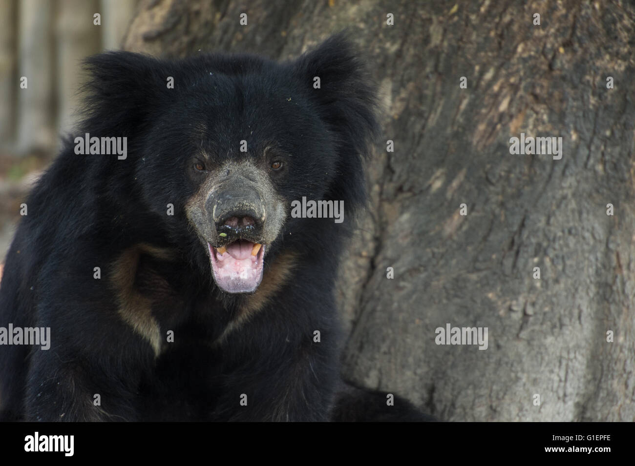 Loth bear, Melursus ursinus, Ursidae, Asia - Stock Image