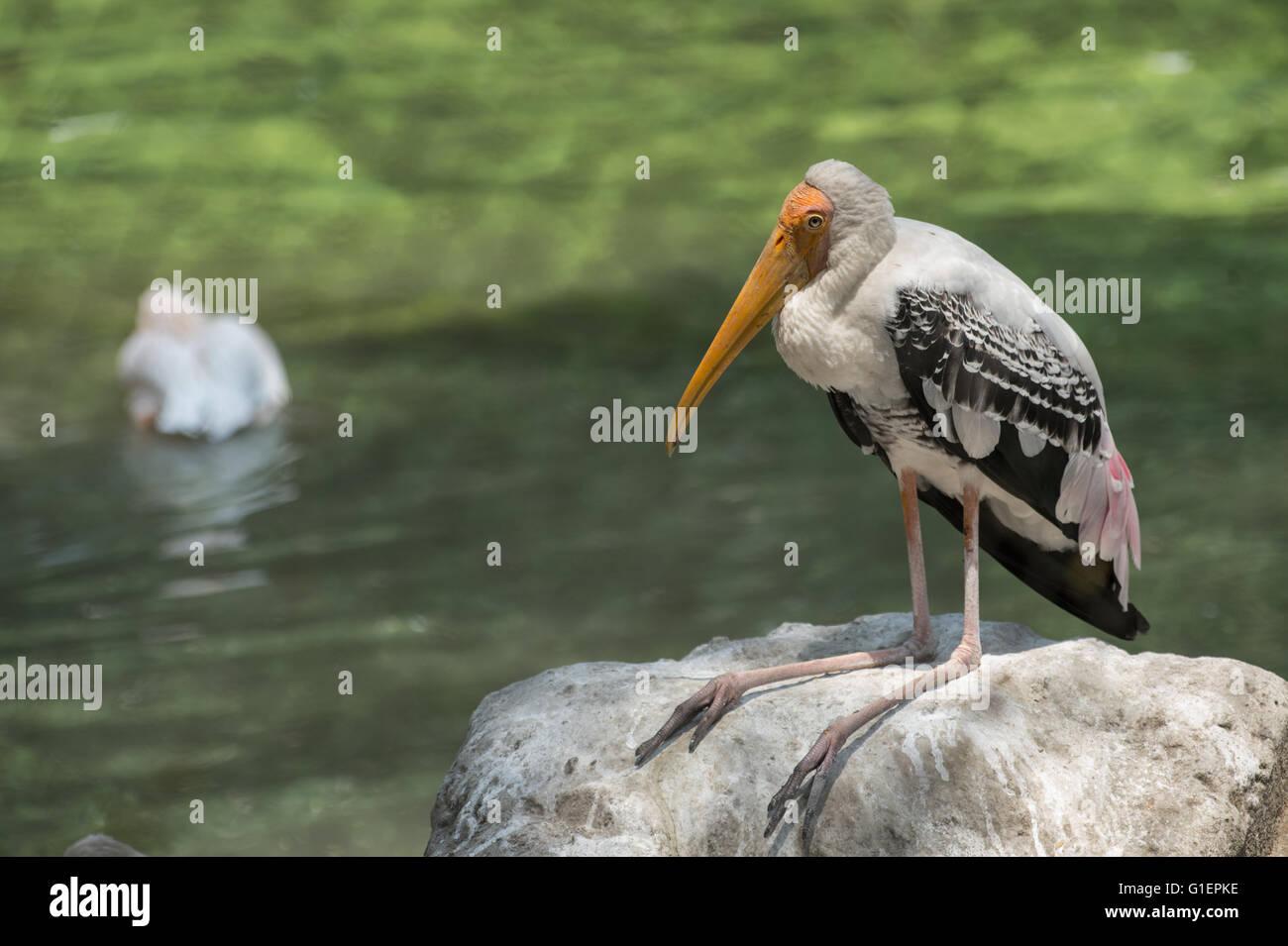 Painted stork, Mycteria leucocephala, Ciconiidae, Asia Stock Photo