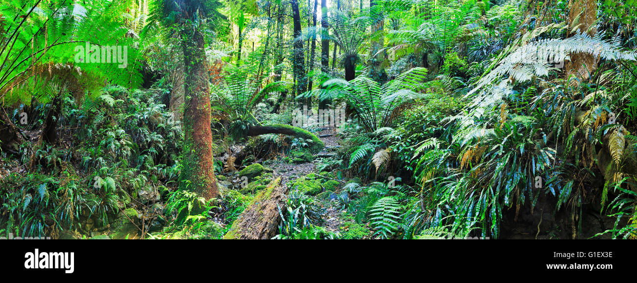 Green lush rainforesk wet creek with fern trees and fallen trees in Blue Mountains of Australia - Stock Image
