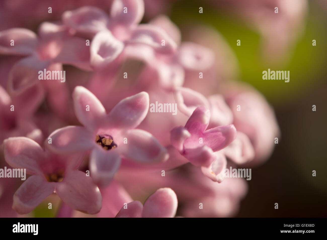 lilac flower blossoms close up - Stock Image