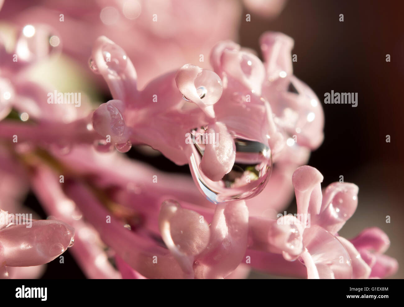 lilac flower close up with water droplets - Stock Image