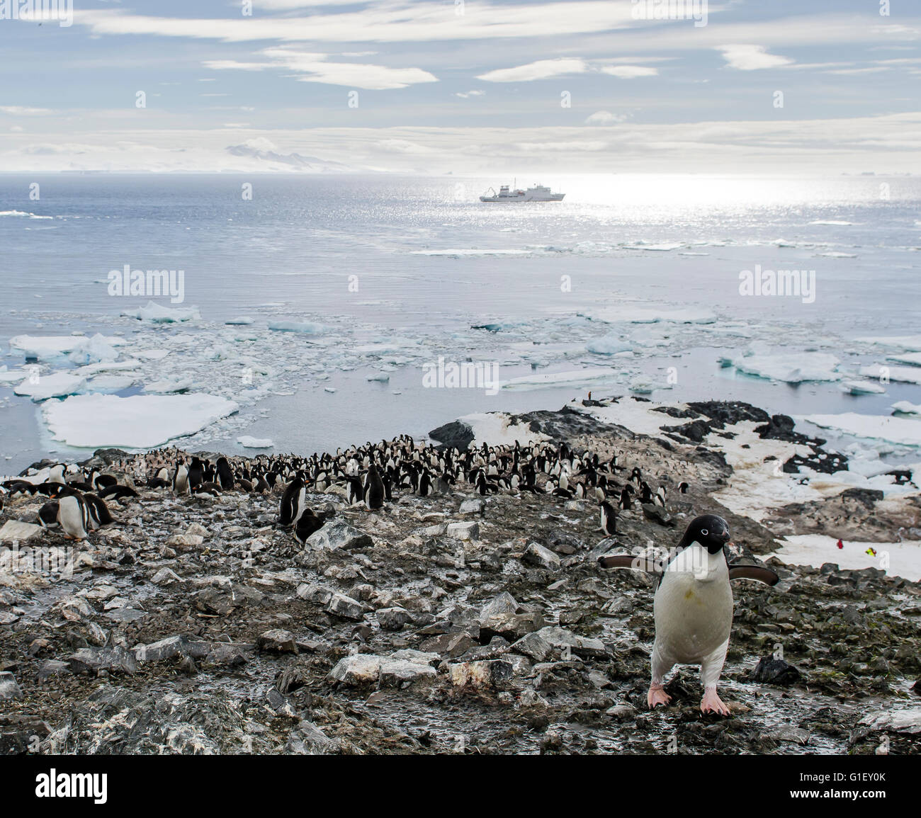 Colony of AdŽlie penguins (Pygoscelis adeliae) Madder Cliffs Antarctic Peninsula Antarctica - Stock Image